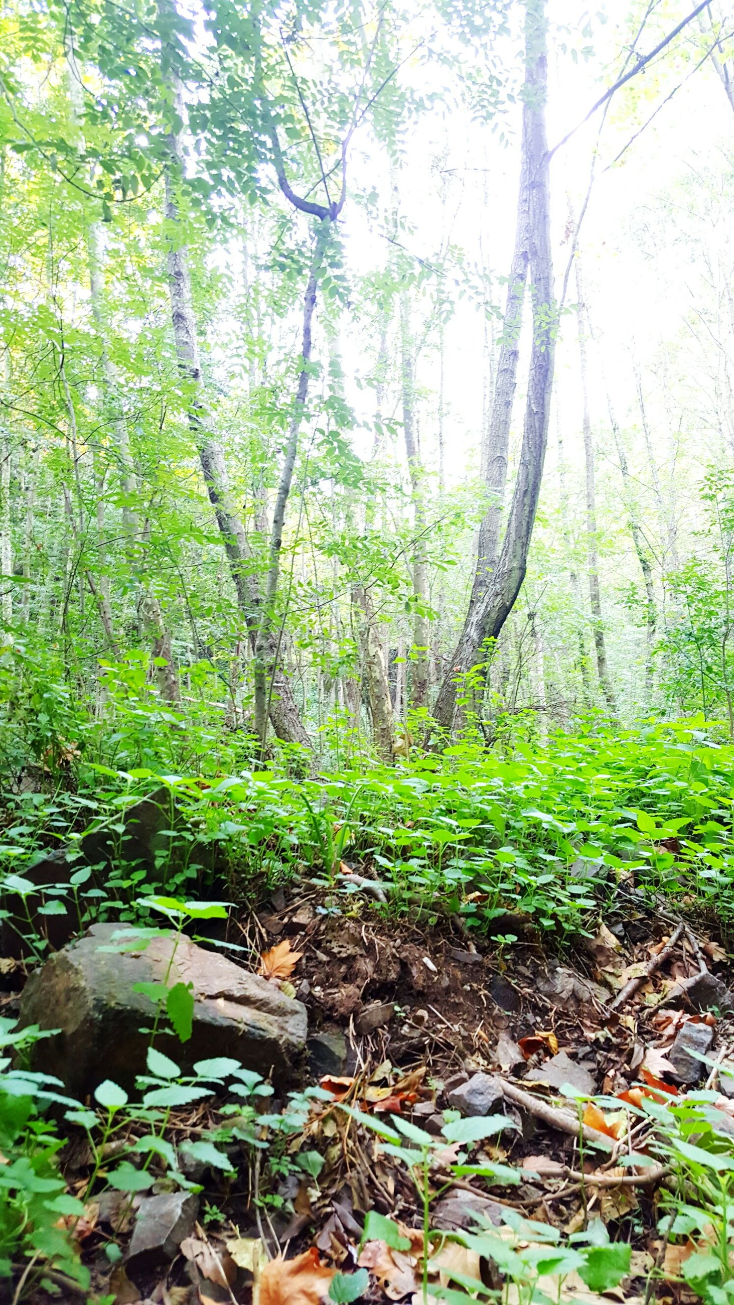 tree, growth, green color, forest, tranquility, nature, tree trunk, plant, beauty in nature, tranquil scene, scenics, moss, lush foliage, leaf, branch, woodland, green, sunlight, day, growing