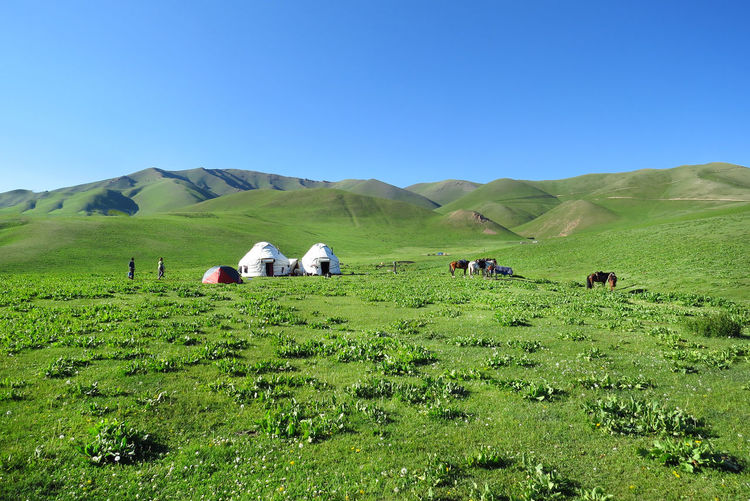 Kyrgyzstan Yurts Agriculture Beauty In Nature Cattle Clear Sky Day Field Grass Grazing Green Color Green Hills Landscape Livestock Meadows Meadowsinthemountains Nature No People Outdoors Rural Scene Scenics Sky Tranquil Scene