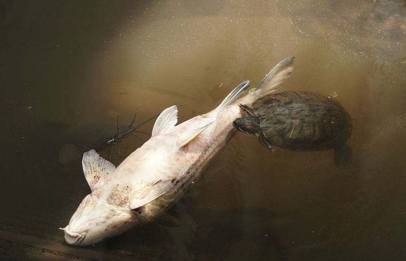 High angle view of dead fish being eaten by a turtle.