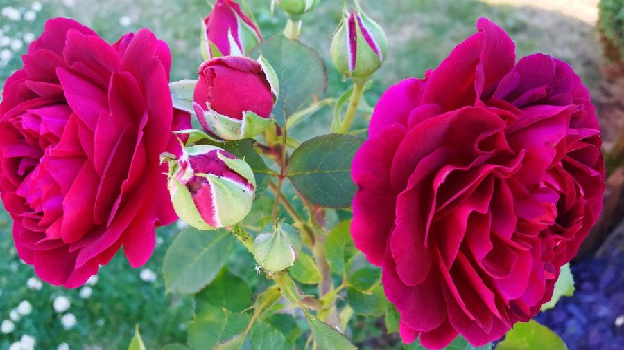 David Austin Munstead Wood Flower Beauty In Nature Blooming