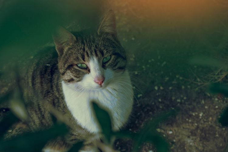 Domestic Cat Feline Animal Themes Domestic Animals Pets Mammal One Animal Cat Looking At Camera Close-up Nature