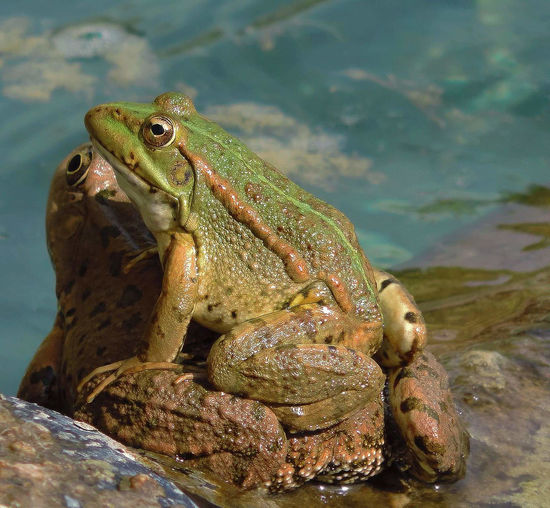 Close-up of frog on rock