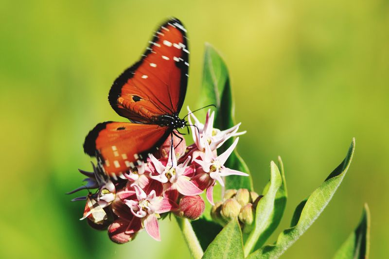 Close-up of queen butterfly pollinating on flowers
