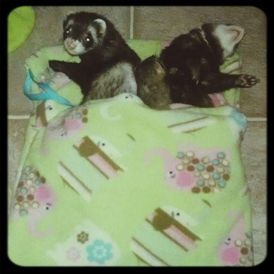 Ilovemyferret  Ferrets
