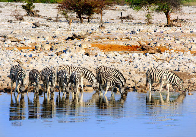 Herd of Zebra drinking from a waterhole with reflection Africa Game Drive Namibia Safari Safari Animals Nature Photography Wildlife Photos Animals Animal Photography African Safari Conservation Wildlife & Nature Waterhole Etosha Waterhole Wilderness Natural Photography Wildlife Photography Zebra Waterhole In Etosha Etosha