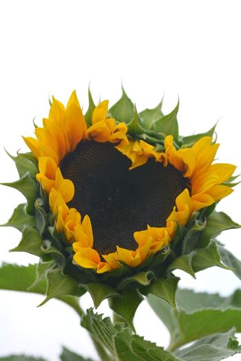 Heart Flower Flowering Plant Flower Plant Yellow Beauty In Nature Freshness Flower Head Plant Part Leaf Nature Petal Fragility Vulnerability  Inflorescence Close-up No People Sunflower Outdoors Growth Springtime