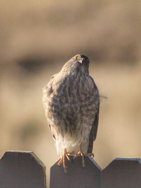 EyeEm Selects Animal Wildlife Bird Animals In The Wild One Animal Vertebrate Focus On Foreground Perching Bird Of Prey Nature Close-up Falcon - Bird Outdoors Day Sky