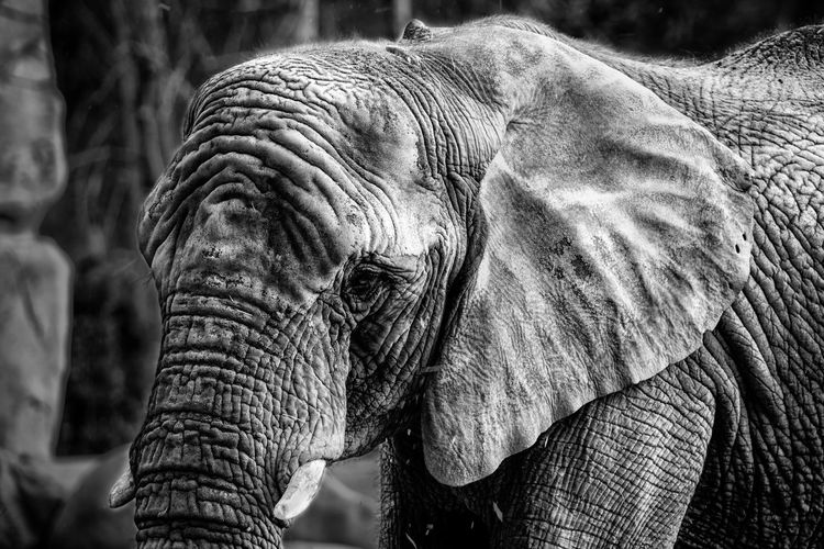 Nature Zoo Africa Animal Art Black And White Close-up Elephant High Contrast Wildlife Black And White Friday EyeEmNewHere