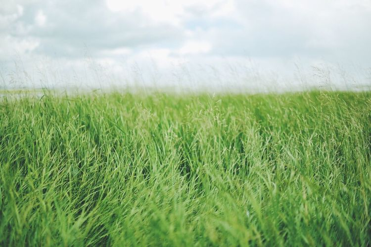 Growth Agriculture Grass Nature Field Wheat Crop  Farm Day Green Color No People Tranquility Landscape Cereal Plant Plant Beauty In Nature Outdoors Sky Ear Of Wheat