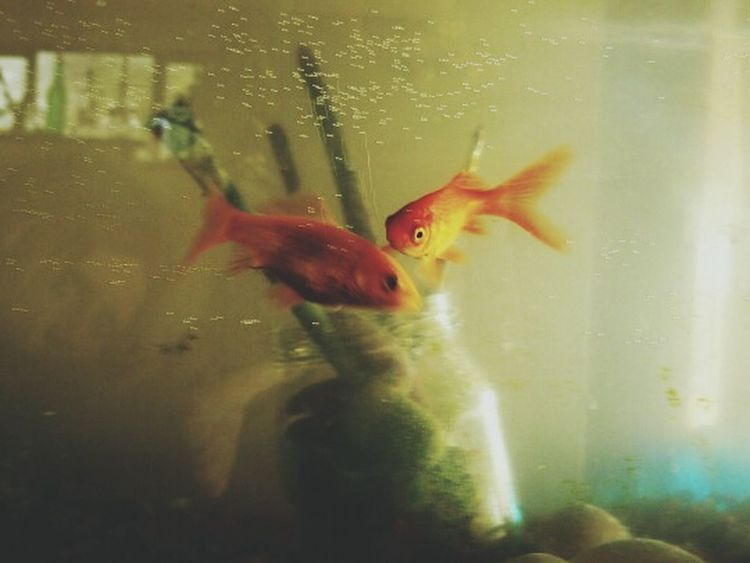 Diving comets and paintbrushes. Goldfish Water Swimming Pets Fish Indoors  Underwater Close-up No People EyeEmNewHere Photography Blur Fade Grunge Artistic Expression Sentimental Comet