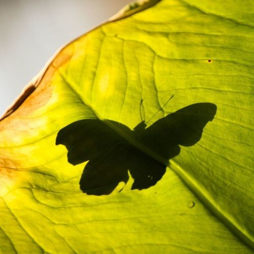 A butterfly resting on a leaf at the butterfly pavilion. Butterfly Bugs Butterflypavilion Denveractivities denver jacobinphotography coloradophotographer coloradophotography coloradoevents freelancephotographer hireme canon canonites canonusa 303 303photography