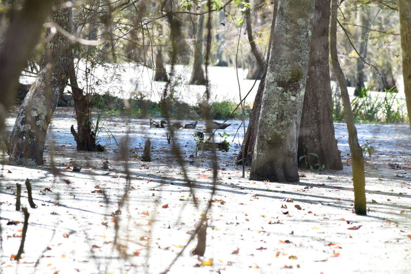 Beauty In Nature Ducks Landscape Nature Plant Swamp Tranquil Scene Tree Water WoodLand Lowndes County Alabama Alabama Outdoors Hunting