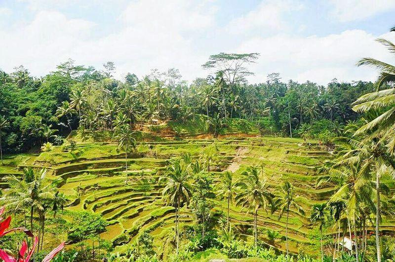 Rice Terrace @Bali First Eyeem Photo