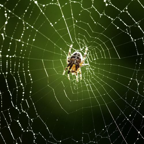 A common garden spider busy web building in the late afternoon sunshine. Creative Light And Shadow Eye4photography  EyeEm Nature Lover Garden Photography Spider Spiderweb Color Palette Light Backlit Green Color Nature Garden Beauty In Nature Web Wet Web Water Droplets Waterdrops See The Light
