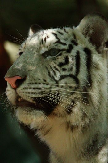 One Animal Animal Themes Close-up Mammal Feline Tiger No People White Tiger Nature Outdoors America USA Las Vegas Mirage Hotel Siegfried And Roy Secret Garden Animal Markings Big Cat