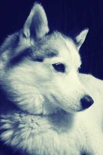 Skye, my little baby. Siberian Husky Dogs Husky