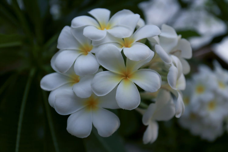 Plumeria or