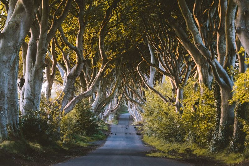 The bright Hedges. Landscape VSCO Autumn Northern Ireland Ireland Nature Tree Plant The Way Forward Direction Growth No People Nature Beauty In Nature Road Transportation Day Green Color Yellow Diminishing Perspective Outdoors Empty Tranquility Footpath Plant Part Land