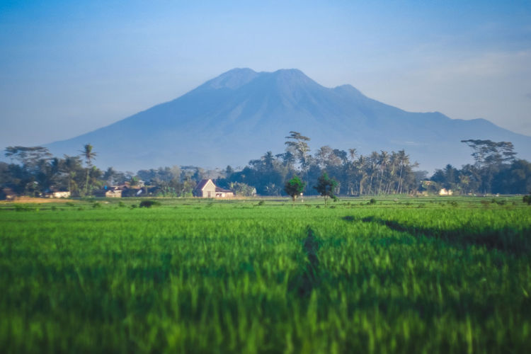 The kawi mountain from east java. Landscape Colors Capture The Moment Perspective Blue Photography Nature Igers Perspectives on Nature Exploring Blue Sky Green ASIA INDONESIA Irrigation Equipment Rice Paddy Tree Mountain Rural Scene Agriculture Asian Style Conical Hat Cereal Plant Field Rice - Cereal Plant Plantation Organic Farm Rice - Food Staple Agricultural Field Farm Fried Rice Blooming