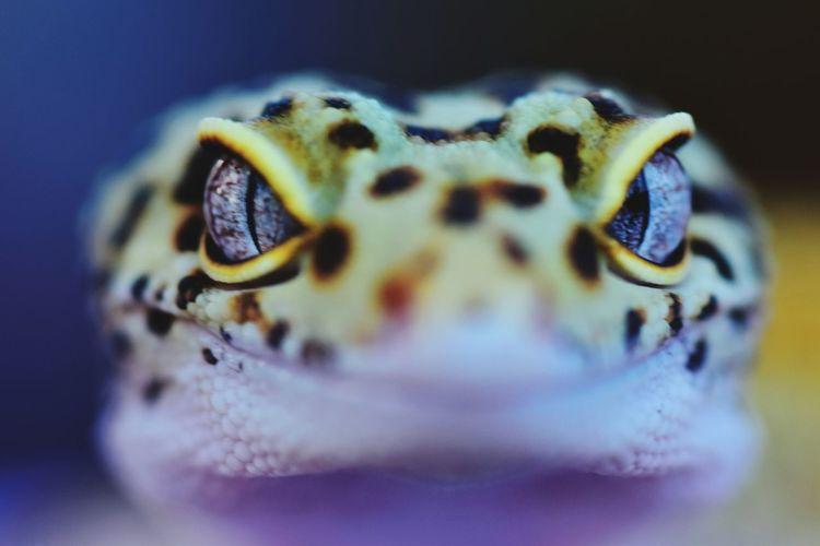 Reptile GechoCreyon Animal Animal_collection Headshot Animal Themes Animal Photography UnderSea Underwater Close-up Gecko Eye HEAD Animal Scale