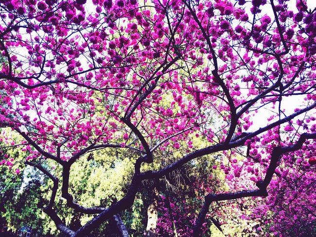 最美不过四月天 IPhoneography EyeEm Nature Lover Flowers Tree EyeEm Best Shots Peach Blossom