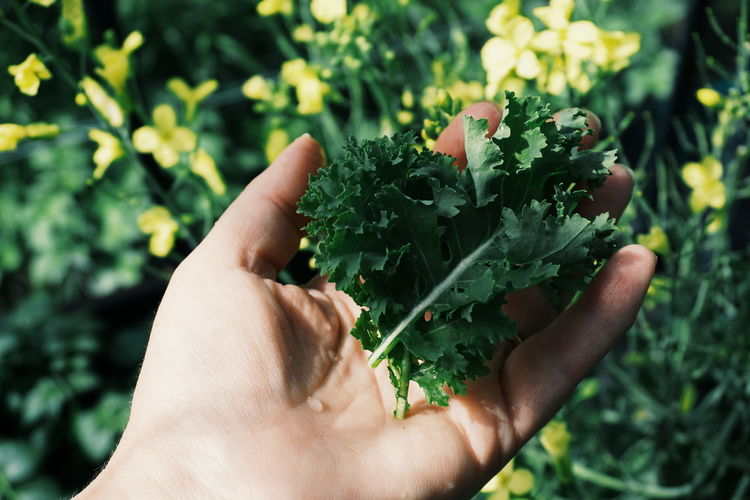 Cropped image of hand holding kale leaves in vegetable garden