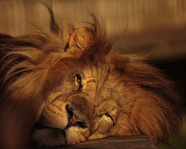 Close-up of a lion sleeping