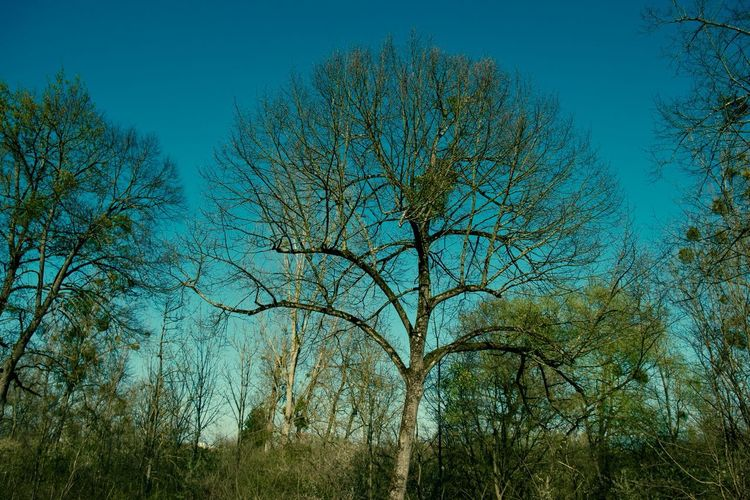 Bare trees against clear blue sky