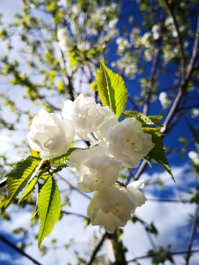 Spring Flower Tree Flower Head Branch Springtime White Color Close-up Plant Apple Blossom Apple Tree In Bloom Blooming Botany Fruit Tree Plant Life