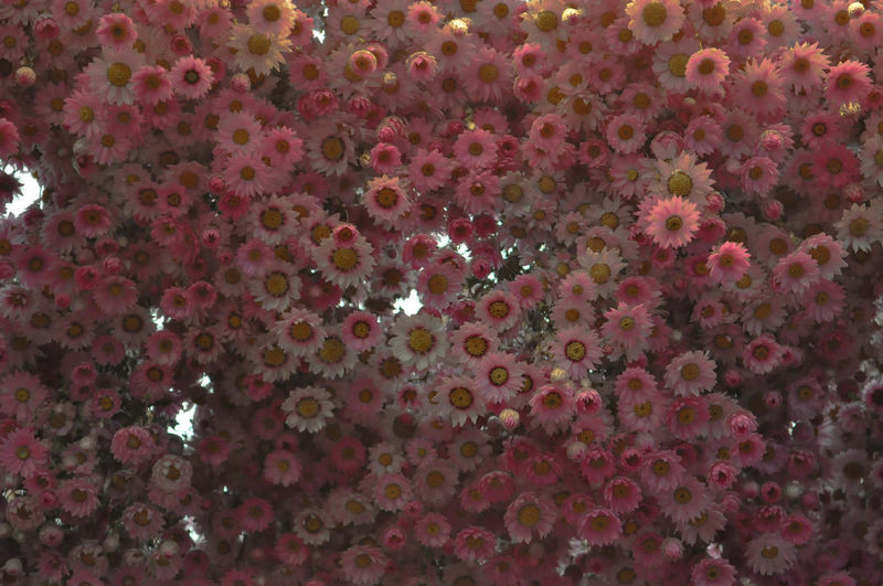 Up from the sky Flower Tree Flower Head Backgrounds Pink Color Full Frame Beauty Close-up