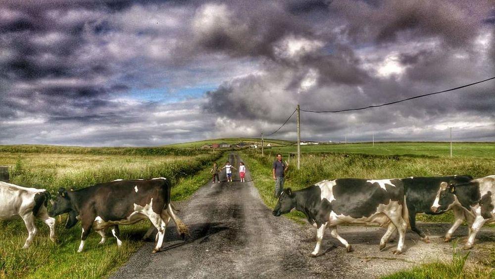 Cows Cows!!! Cows In The Feilds Cows Grazing Cowsofinstagram Eyem Best Shots B