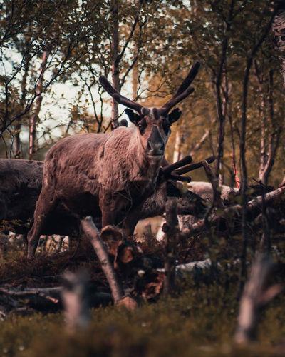 Shot of reindeer