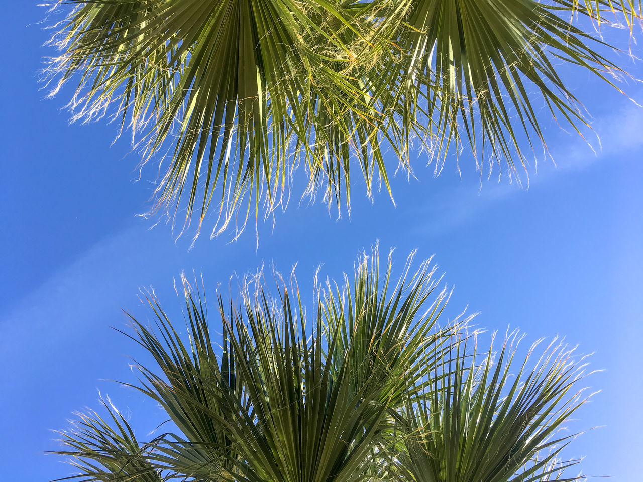 palm tree, growth, tree, sky, nature, blue, no people, branch, outdoors, day, beauty in nature, close-up