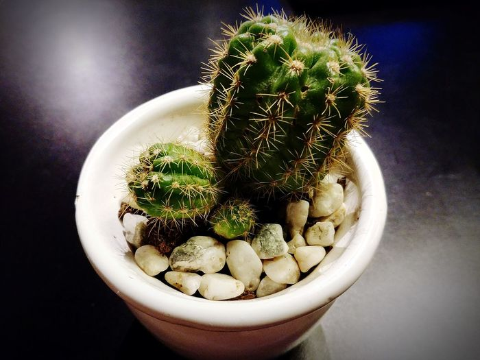High angle view of cactus plant on table