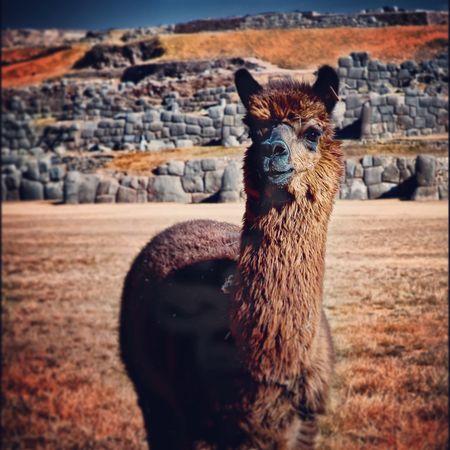Lama Andes South America PÉROU Cuzco Peru Mountains Nature Lama Sacsayhuaman
