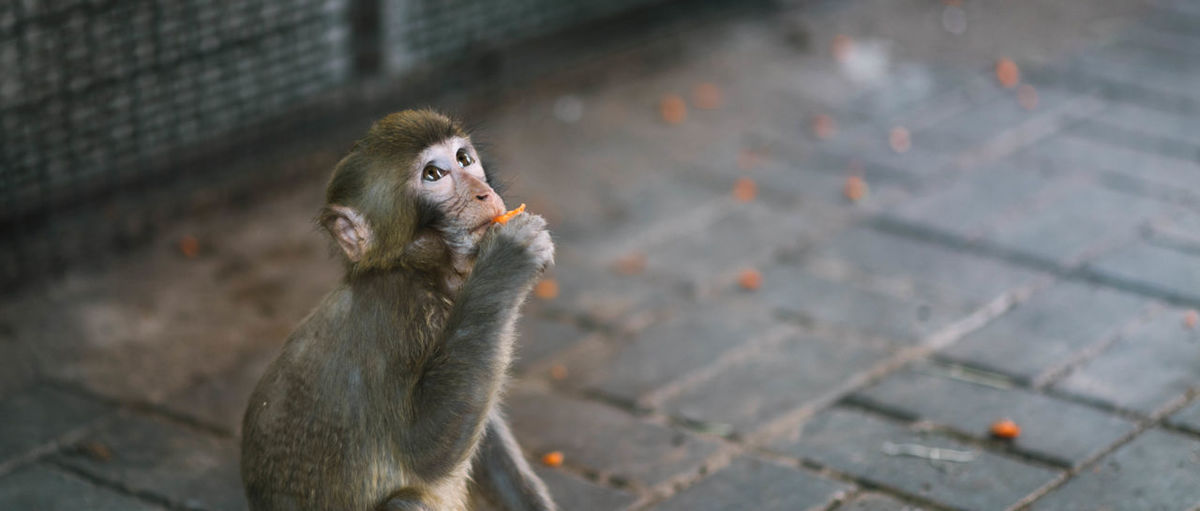 Close-up of monkey eating food on footpath