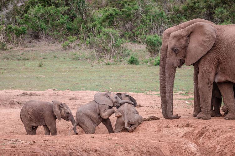 Elephant in a farm