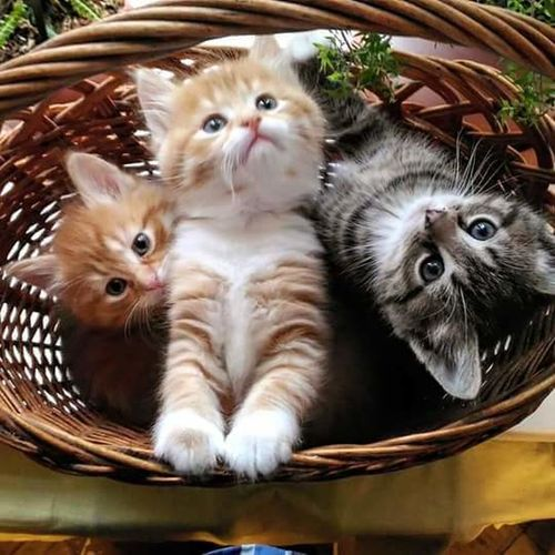 Cute kit Domestic Cat Animal Themes Pets Mammal Domestic Animals Domestic Cat Whisker Close-up Striped Feline Alertness Wicker Young Animal Front View Zoology Looking At Camera Cat Curiosity Day Animal Hair Kitten First Eyeem Photo