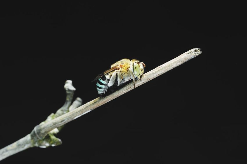 Cuckoo bee Honey Bee Cuckoo Bee Beehive Dangerous Beauty Poisonous No People Wildlife & Nature Macro Photography Nightphotography Bee Black Background Perching Full Length Insect Living Organism Tail Close-up Animal Scale