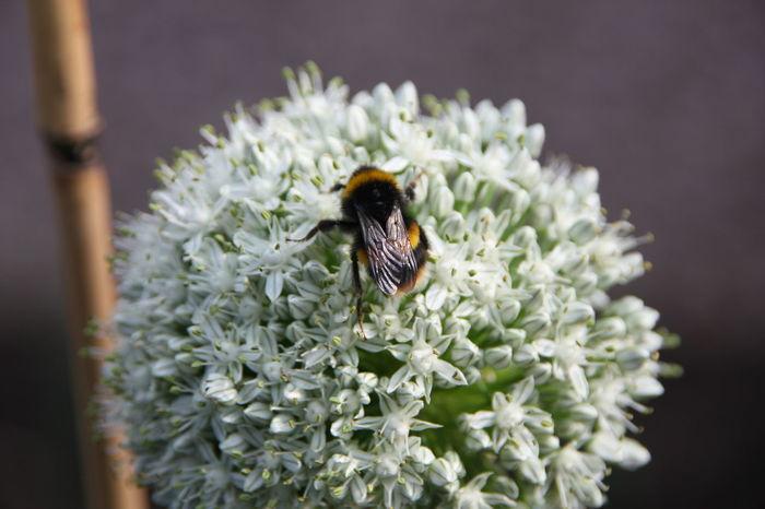 Bee Cloesup Flower Onion Seed Onion Flower Bumblebee