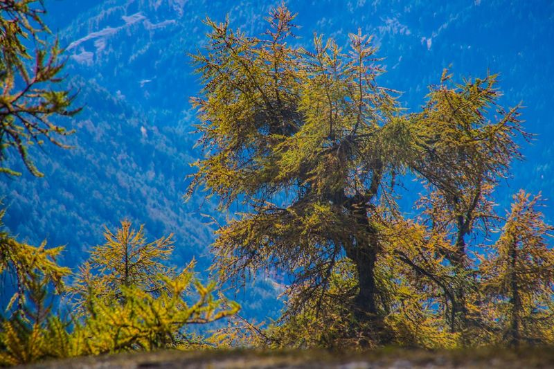 col of lien,valais,swiss Tree Plant Autumn Growth Beauty In Nature Blue Change Sky Tranquility Branch Nature No People Low Angle View Day Leaf Plant Part Outdoors Scenics - Nature Tranquil Scene Green Color Maple Leaf Coniferous Tree