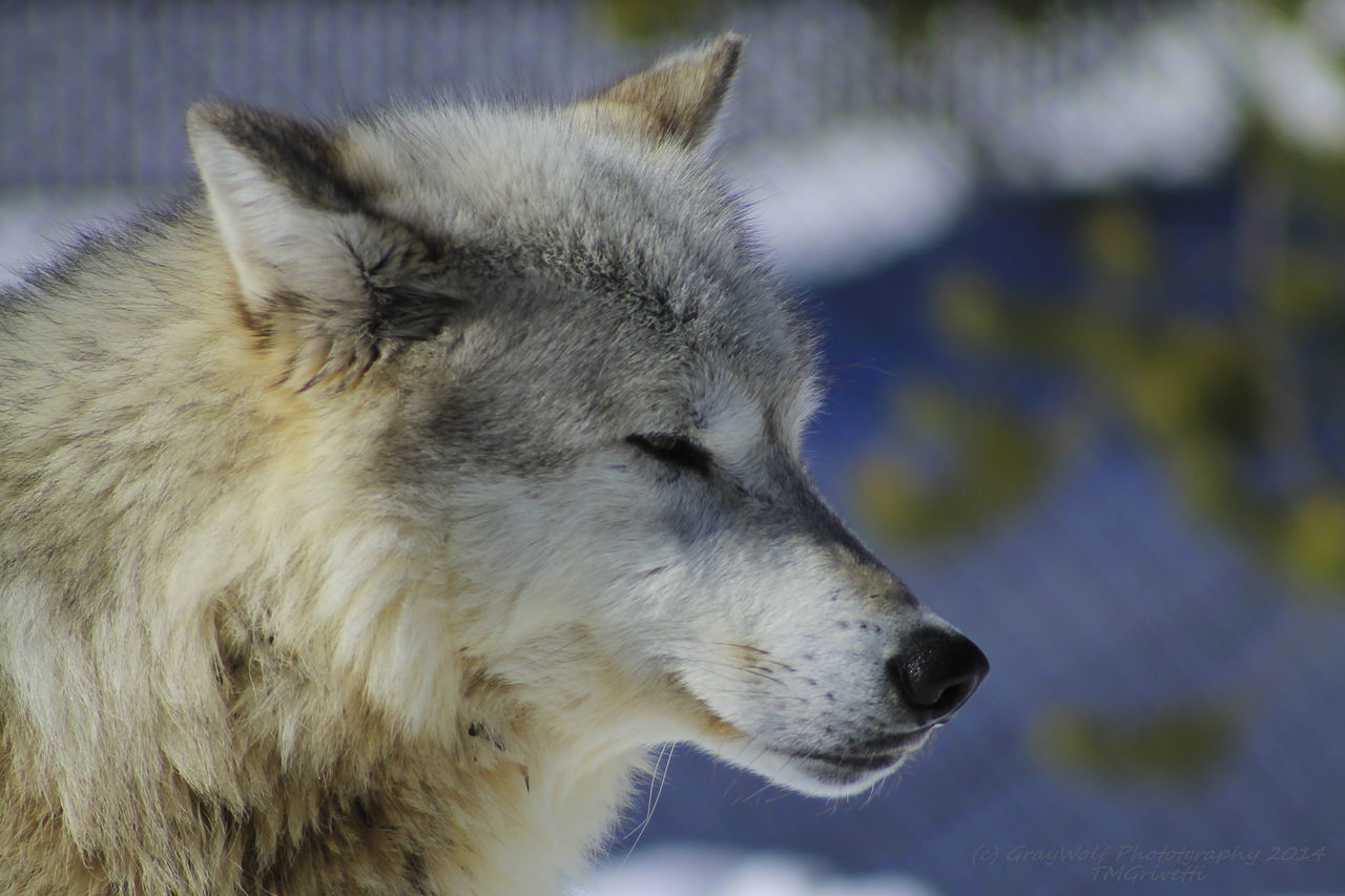 one animal, mammal, animal themes, focus on foreground, dog, winter, outdoors, no people, snow, wolf, nature, animal wildlife, day, close-up, animals in the wild, cold temperature, domestic animals
