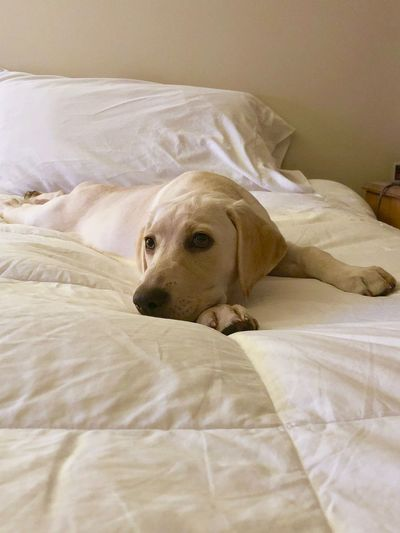 Puppy on bed Puppy Labrador Retriever Labrador EyeEm Selects Bed Dog Bedroom Pets One Animal Mammal Domestic Animals