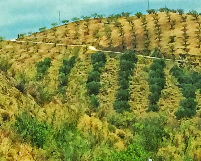 Campo In Colours Olive Tree And Shadowlands SPAIN Andalucía Nature Love Spain Road To Málaga Colours Of Dryness