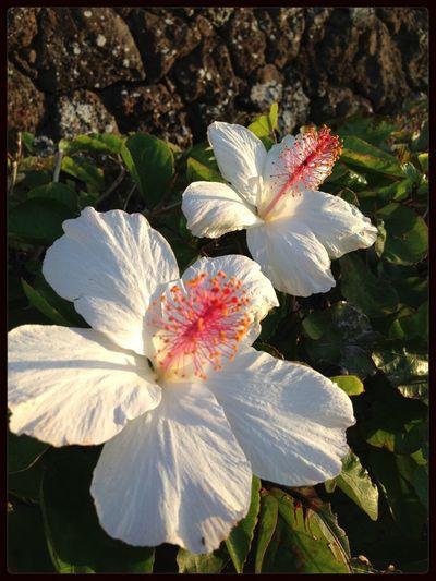 The Purist (no Edit, No Filter) Along The Way Flowerpower Hawaiian Beauties