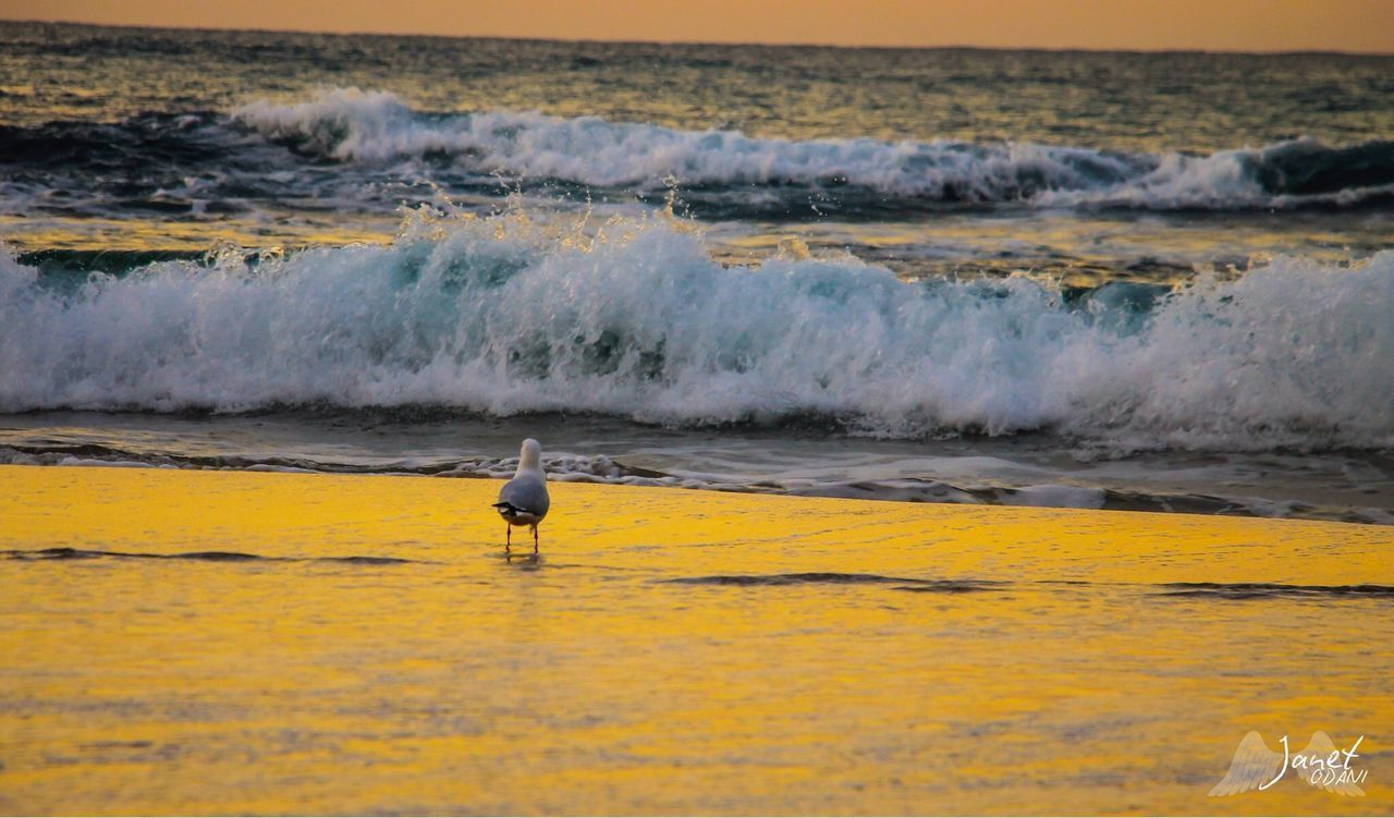 water, sea, bird, one animal, motion, animal, animal themes, vertebrate, animals in the wild, beach, animal wildlife, wave, land, nature, day, beauty in nature, sport, aquatic sport, surfing, seagull, outdoors, flowing water