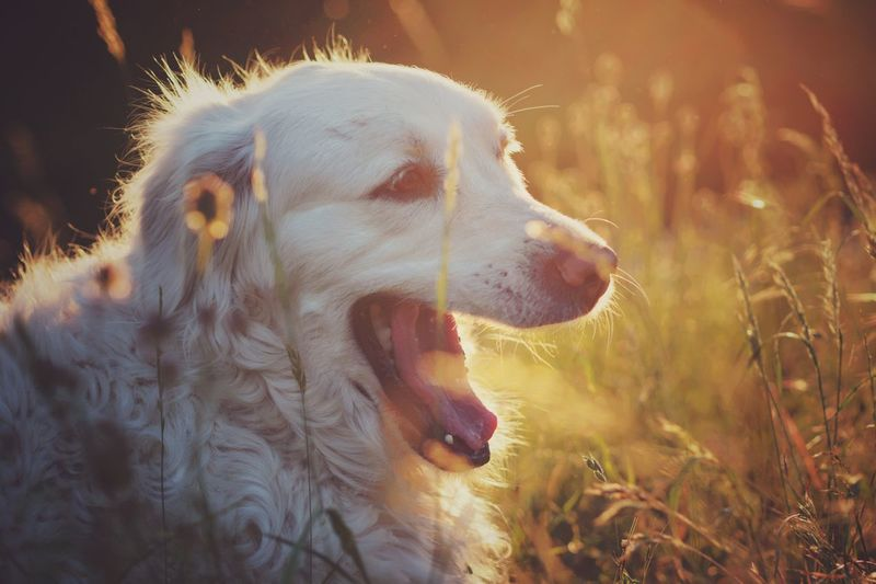 Live For The Story Dog Evening Sunset Portrait Nature Outdoors Orange Color Green Color Golden Hour Golden Retriever Grass Yawning Yawning Dog Tired Tired Dog