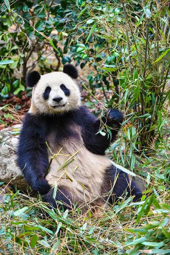 Giant panda eating bamboo in China Animal Wildlife Animals In The Wild Mammal Plant Vertebrate One Animal Panda - Animal No People Sitting Nature Day Endangered Species Land Giant Panda Eating Bamboo - Plant Herbivorous Panda Giant Bear Chengdu Conservation