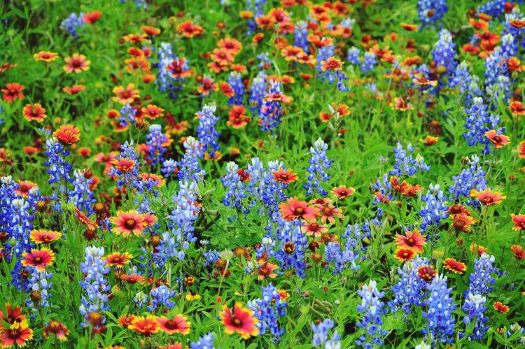 Texas!!!! Bluebonnets Flowers Taking Photos Nature Shot Colour Of Life Colour Palette Pivotal Ideas