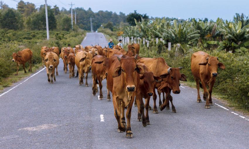 Cows walking on street amidst field